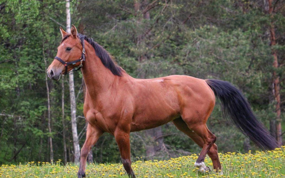 Terve hevonen ei ole lihava: Hilpan metamorfoosi